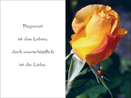 116 Rose mit Marienkäfer